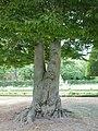 Fagus sylvatica 'Asplenifolia' Hofgarten Würzburg 2019 trunc.jpg