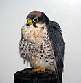 Falcon (3264047118).jpg