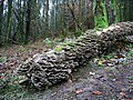 Fallen silver birch with fungi - geograph.org.uk - 298849.jpg