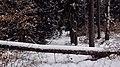 Fallen trees - panoramio.jpg