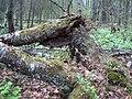 Fallna träd som håller på att brytas ner.jpg