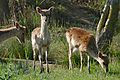 Fallow Deer (Dama dama) (26629917156).jpg