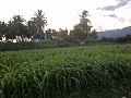 Farmlands beneath the shades of niligiri mountains.jpg