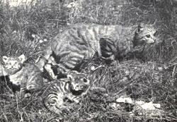 Felis sylvestris cafra + kittens.png