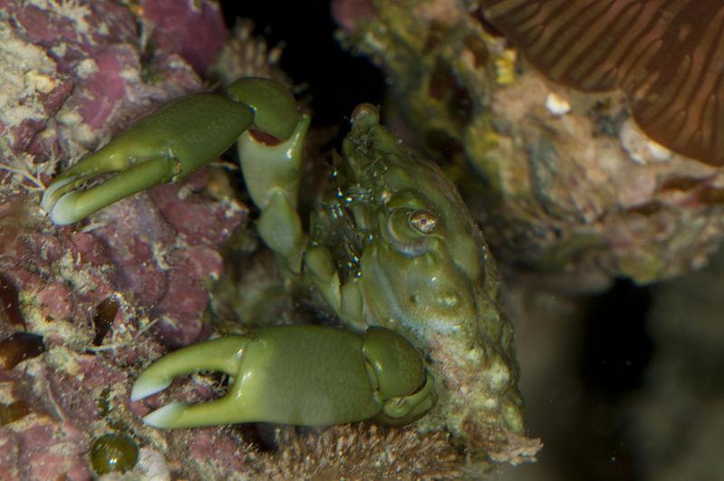 Mithraculus sculptus adalah spesies kepiting yang berasal dari famili Majidae. Binatang ini berwarna hijau tua dan dapat ditemui di perairan tropis di Laut Karibia.