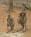 Female and male Eastern Grey Kangaroos (Macropus giganteus).jpg