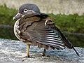 Female mandarin duck (Aix galericulata) (35520483282).jpg