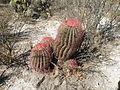 Ferocactus pilosus (5729631731).jpg