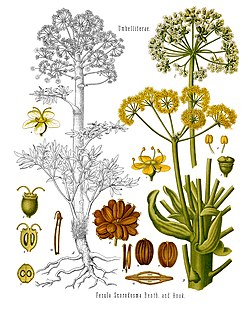 《科勒藥用植物》(1897), Ferula scorodosma