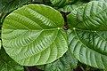 Ficus auriculata 0228.jpg