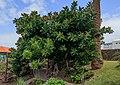 Ficus elastica - La Palma 01.jpg