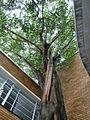 Ficus religiosa, habitus, b, Manie van der Schijff BT.jpg
