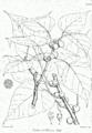 Ficus rumphii Bra48.png
