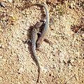 Fighting Side-blotched Lizards (16625735092).jpg