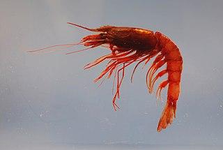 <i>Aristaeomorpha foliacea</i> species of crustacean