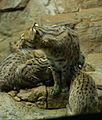 Fishing Cat Family.jpg