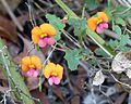 Flame Pea. Chorizema sp. Fabaceae - Flickr - gailhampshire.jpg