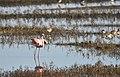 Flamingo Flap - 7 (40544208161).jpg