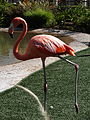 Flamingo at SeaWorld San Diego.JPG