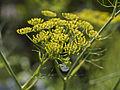 Fleurs de Fenouils sauvages-2-cliche Jean Weber (23049157284).jpg
