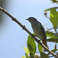 Flickr - Dario Sanches - FIGUINHA-DE-RABO-CASTANHO (Conirostrum speciosum).jpg