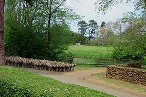 Midlands (Tasmania) - Sheep in Longford, Tasmania