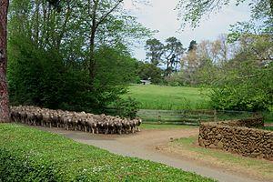 Midlands (Tasmania) - Sheep in Longford, Tasmania