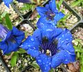 Flickr - brewbooks - Gentiana acaulis 'Krebs'.jpg