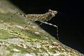 Flickr - ggallice - Lichen bark mantis.jpg