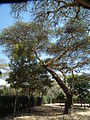 Flora of Tanzania 2460 Nevit.jpg