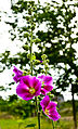 Flower1 Tiligul.jpg