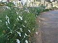Flowers in Dalat 4.jpg