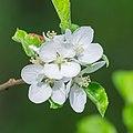 Flowers of Malus domestica (30).jpg