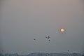 Flying Egrets & Equinox Sun - Kolkata 2012-03-20 9333.JPG