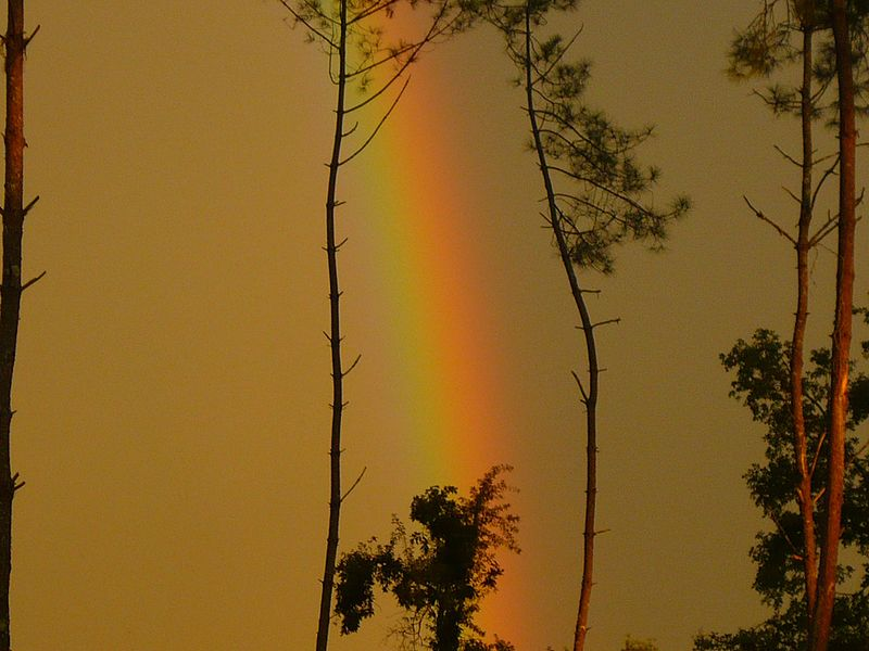 File:Forêt des Landes, rayon lumineux entre deux pins.jpg