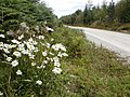 Forest Road and Ox Eye Daisies - geograph.org.uk - 537403.jpg