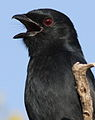 Fork-tailed Drongo, Dicrurus adsimilis, at Mapungubwe National Park, Limpopo, South Africa (18214043114).jpg