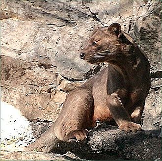 Fauna of Madagascar - A good example of Malagasy convergent evolution is the fossa, a Malagasy carnivore that has evolved in appearance and behaviour to be so like a large cat that it was originally classified in Felidae, when it is in fact more closely related to the mongoose