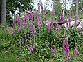 Foxgloves in woodland - geograph.org.uk - 198972.jpg