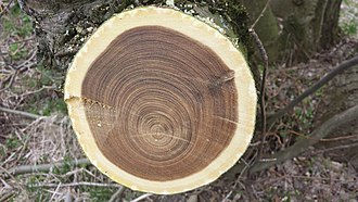 Laburnum - Freshly cross cut laburnum with visible heart-wood