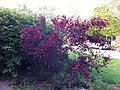 Freshly pruned sand cherry bush.jpg