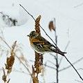 Fringilla montifringilla in Botevgrad, Bulgaria 02.jpg