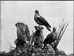 Fruit Pigeons (4903833874).jpg