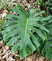 Fruit Salad Plant (Monstera deliciosa).jpg