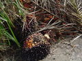 Fruit oil palm.JPG