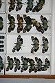 Fulgoridae Drawers - 5036095701.jpg
