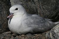 Fulmar antarctique - Fulmarus glacialoides