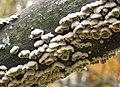 Fuzzy Fungi (Schizophyllum commune).jpg