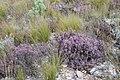 Fynbos (Ericaceae) (4576162476).jpg