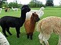 GOC The Pelhams 093 Alpacas (Vicugna pacos) (27683721433).jpg